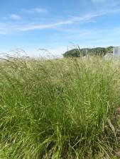 Metodyka uprawy kostrzewy trzcinowej na bimasę