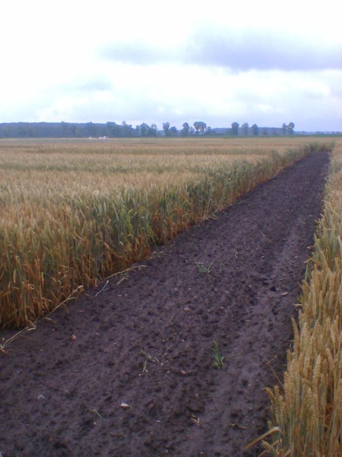 Letnie spotkanie hodowców pszenicy i żyta w Hodowli Roślin w Smolicach