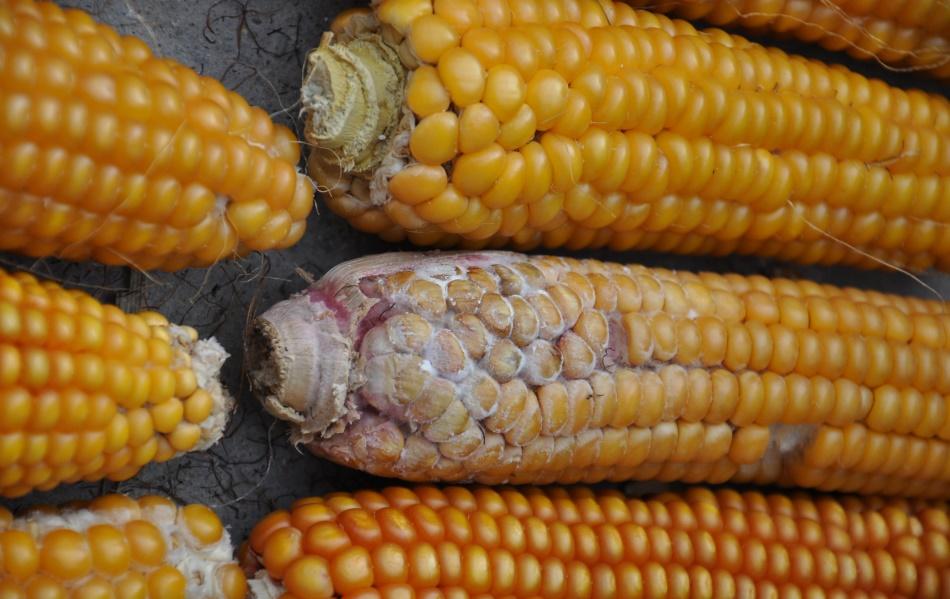 Monitorowanie obecności mikotoksyn w ziarnie kukurydzy.