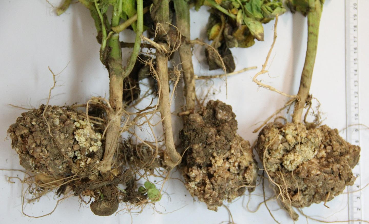 Śledzenie występowania w Polsce patotypów grzyba Synchytrium endobioticum – sprawcy raka ziemniaka.