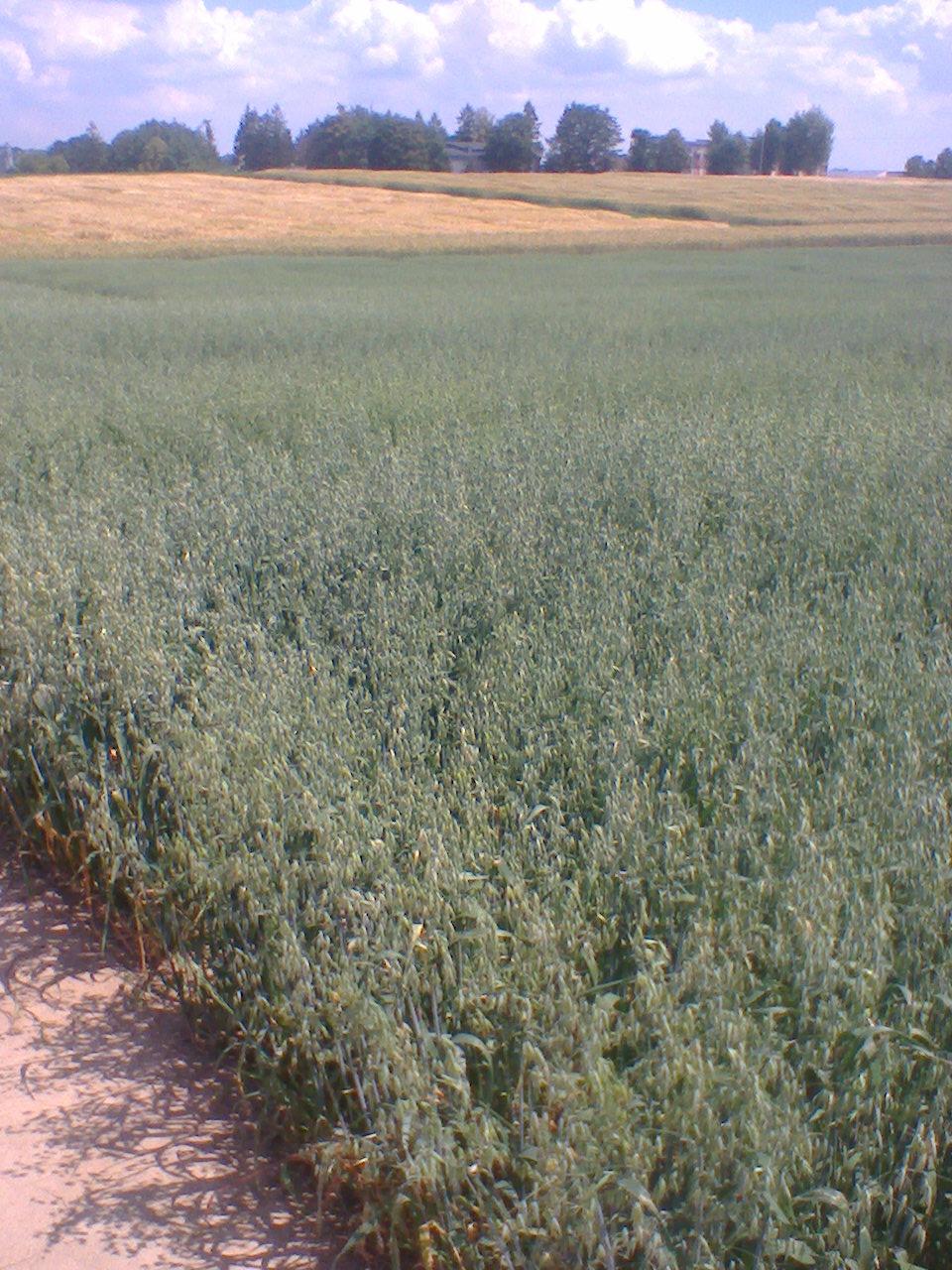 Letnie spotkanie hodowców jęczmienia i owsa w Oddziale hodowlanym w Modzurowie należącym do Hodowli Roślin DANKO