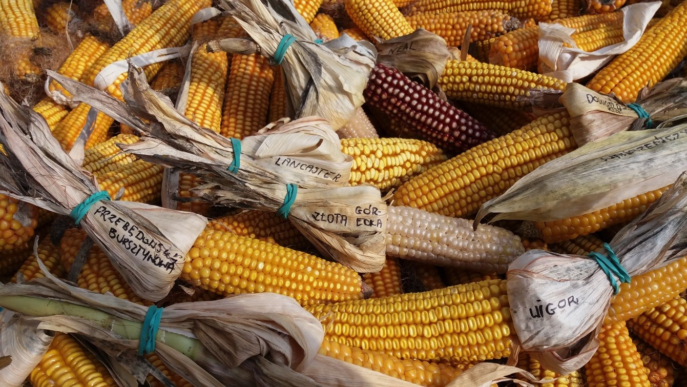 Dawne gatunki i odmiany zbóż źródłem bioróżnorodności