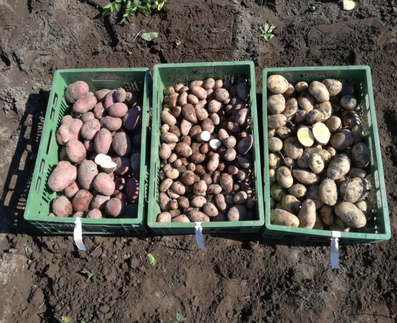 Bank zasobów genowych ziemniaka in vitro w Boninie.
